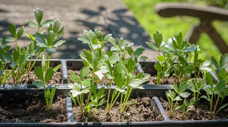 I bylinky mohou být škodlivé. Na jaké si dát pozor a které raději nepěstovat?