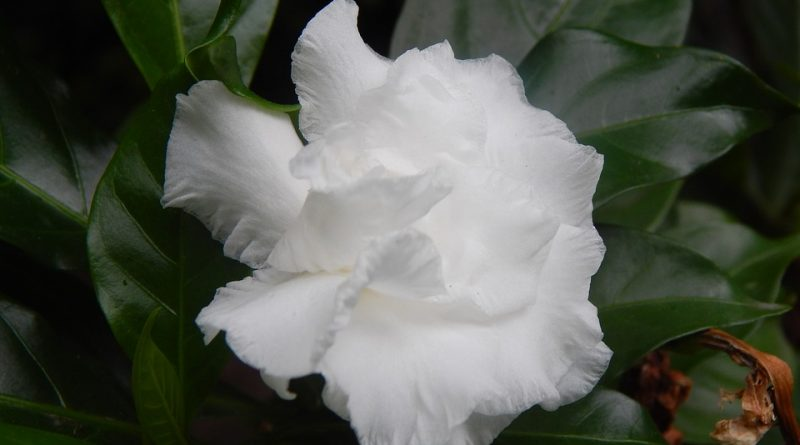 Pěstujeme gardénii, rostlinu podobnou jasmínu