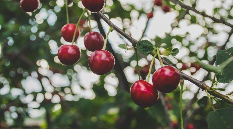 Řez ovocných stromků přichází do hry. Jak chybujeme?