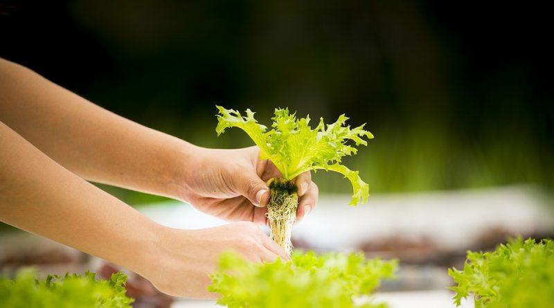 Tipy pro pěstování zeleniny. Vypěstujte si šťavnatá rajčata a skvělé okurky